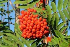 Sorbus aucuparia fruit